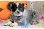 Picture of Tonya - Blue Heeler Female