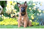 Picture of Baxter - Belgian Malinois Mix Male