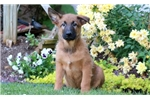 Picture of Bandit - Belgian Malinois Mix Male