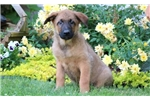 Picture of Banjo - Belgian Malinois Mix Male