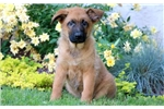 Picture of Billy - Belgian Malinois Mix Male