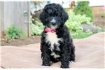 Picture of Rita - Bernedoodle Female