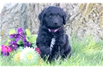 Picture of Mallory - Mini Bernedoodle Female