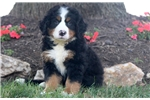 Picture of Chub - Bernese Mountain Dog Puppy Male