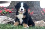 Picture of Casper - Bernese Mountain Dog Puppy Male