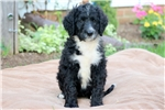 Picture of Rosie - Bernedoodle Female