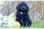 Picture of Butch - F1b Mini Bernedoodle Male