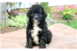 Picture of Ross - Bernedoodle Male