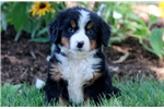 Picture of Hearts - Bernese Mountain Dog Female