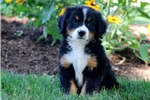 Picture of Honey - Bernese Mountain Dog Female