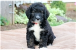 Picture of Rylee - Bernedoodle Female