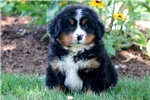 Picture of Hoops - Bernese Mountain Dog Male