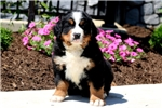 Picture of Harley - Bernese Mountain Dog Male