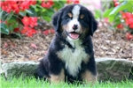 Picture of Dallas - Bernese Mountain Dog Male