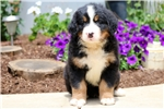 Picture of Larry - Bernese Mountain Dog Male