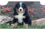 Picture of Cash - Bernese Mountain Dog Puppy Male