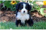 Picture of Hillary - Bernese Mountain Dog Female