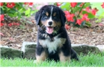 Picture of Daffy - Bernese Mountain Dog Female