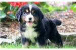 Picture of Destiny - Bernese Mountain Dog Female
