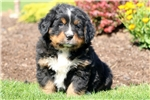 Picture of Chase - Bernese Mountain Dog Male