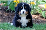 Picture of Hank - Bernese Mountain Dog Male