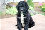Picture of Rocko - Bernedoodle Male