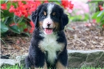 Picture of Dexter - Bernese Mountain Dog Male