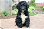 Picture of Ricky - Bernedoodle Male