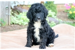 Picture of Ringo - Bernedoodle Male
