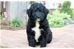 Picture of Robby - Bernedoodle Male