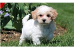 Picture of Cookie - Bichpoo Female