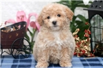 Picture of Sky - Bichpoo Female