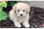 Picture of Petey - Bichpoo Male