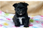 Picture of Tinkerbell - Bichon Mix Female