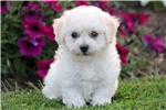 Picture of Loops - Bichon Male