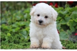 Picture of Pogo - Bichon Male
