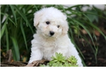 Picture of Joey - Bichon Male