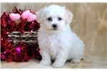 Picture of Henry - Bichon Male