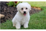 Picture of Buster - Bichon Male