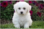 Picture of Lilly - Bichon Female