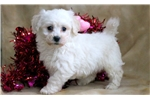 Picture of Hoops - Bichon Male