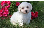 Picture of TJ - Bichon Male
