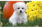 Picture of Boots - Bichon Male