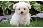Picture of Forest - Bichon Male
