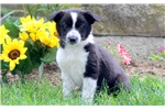 Picture of Trudy - Border Collie Mix Female