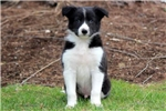 Picture of Floyd - Border Collie Male