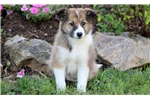 Picture of Apple - Border Collie Mix Female