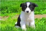 Daffodil - Border Collie Female | Puppy at 10 weeks of age for sale
