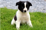 Buzz - Border Collie Male | Puppy at 8 weeks of age for sale