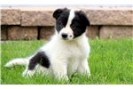 Brenna - Border Collie Female | Puppy at 8 weeks of age for sale